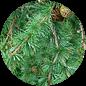 экологичность лиственницы